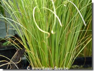 Carex frosted