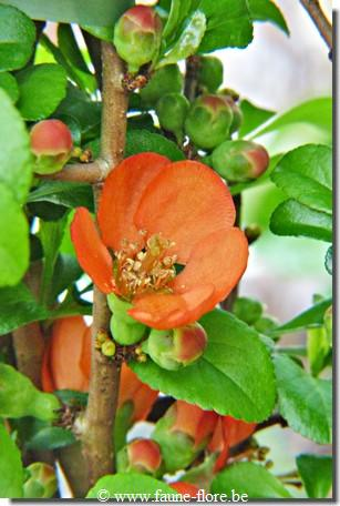 Chaenomeles japonica Sargentii