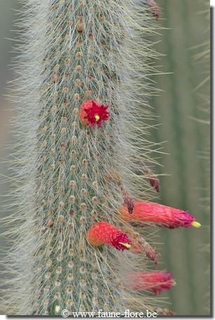 Cleistocactus hyalacanthus