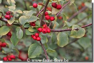 Cotoneaster magnificus