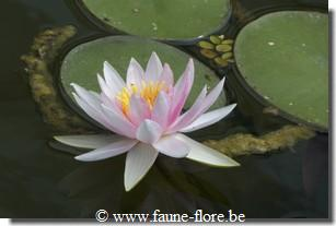 Nymphaea fritz junge