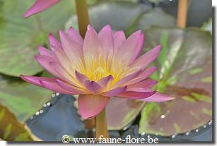Nymphaea tropic sunset