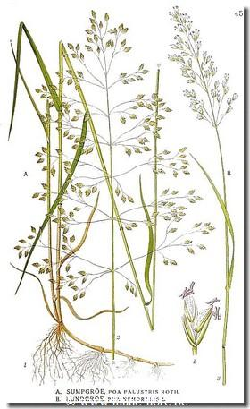 Poa palustris