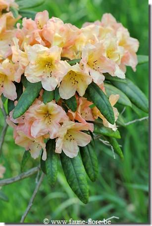 Rhododendron Hello Dolly