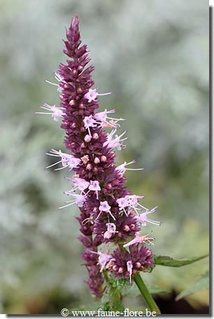 Agastache mexicana Pink Perfume