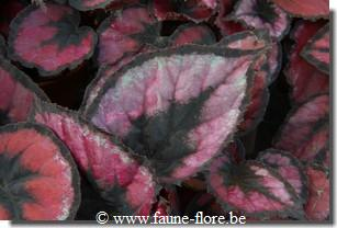 Begonia magic colors red