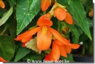 Begonia Waterfall Encanto