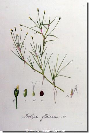 Isolepis Fluitans